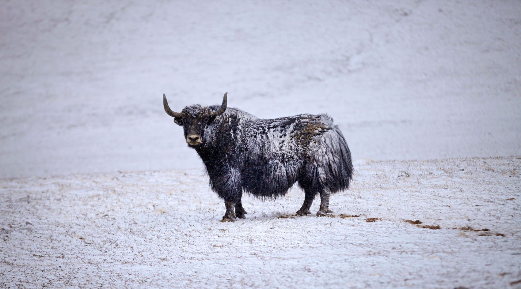 Wild Yak Bull from Disneynature